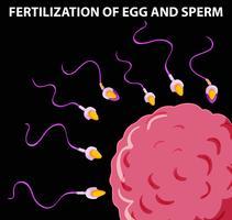 Diagramma che mostra la fecondazione di uovo e sperma vettore