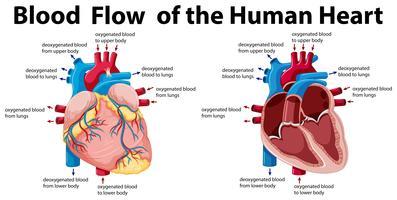 Flusso sanguigno del cuore umano vettore
