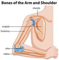 Ossa del braccio e della spalla vettore