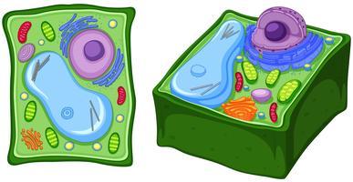 Chiuda sul diagramma della cellula vegetale vettore