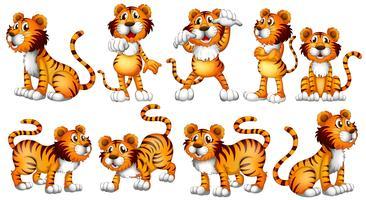 Tigri in diverse azioni su sfondo bianco vettore