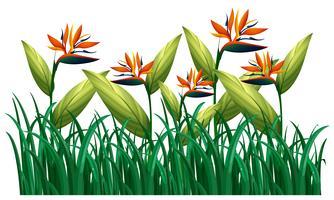 Molti uccelli del paradiso fioriscono nel bush vettore