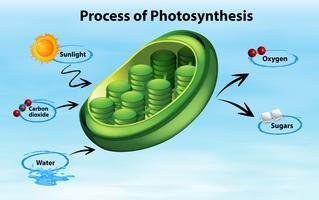 Diagramma che mostra il processo di fotosintesi vettore