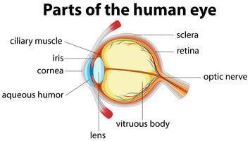 Parti dell'occhio umano con il nome vettore