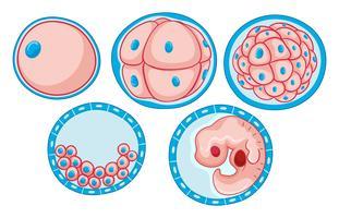 Diagramma che mostra il processo di crescita dell'embrione vettore