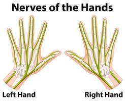 Diagramma che mostra i nervi delle mani vettore