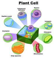 Diagramma che mostra le parti della cellula vegetale vettore