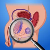 Anatomia del sistema riproduttivo maschile vettore