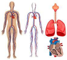 Sistema circolatorio nel corpo umano vettore