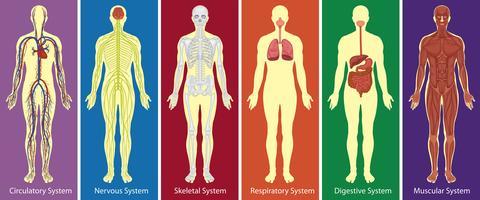 Diversi sistemi di diagramma del corpo umano