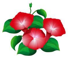 Fiore di gloria di mattina nel colore rosso vettore