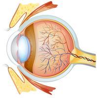 Sezione trasversale dell'occhio umano vettore