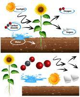 Diagramma che mostra come cresce la pianta vettore