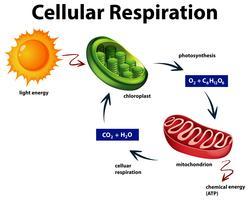 Diagramma che mostra la respirazione cellulare vettore