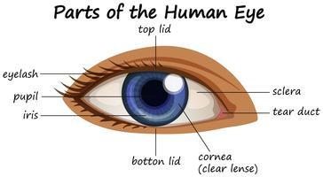 Diagramma che mostra parti dell'occhio umano vettore