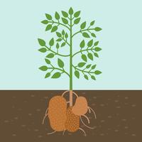pianta di patate, verdura con radice nella trama del suolo, design piatto