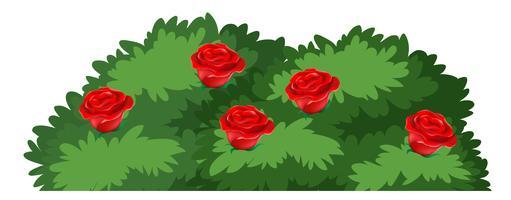 Cespuglio di rose isolato su priorità bassa bianca vettore