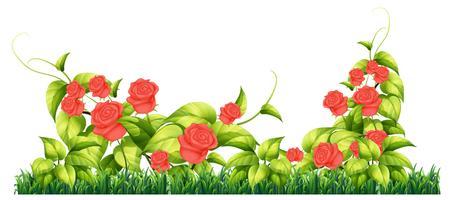 Pianta di rose isolata per decorare vettore