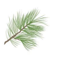 Pigna. Ramo di albero di pino isolato. Decorazioni floreali sempreverdi