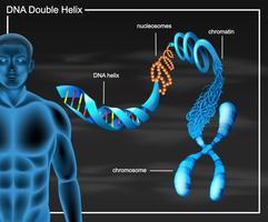 Diagramma a doppia elica del DNA vettore