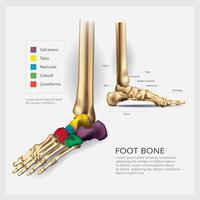 Illustrazione di vettore di anatomia dell'osso di piede