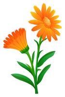 Calendula in colore arancione vettore