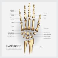 Anatomia dell'osso di mano con illustrazione vettoriale di dettaglio