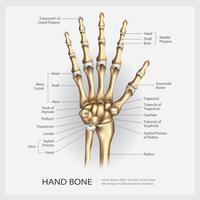Osso di mano con illustrazione vettoriale di dettaglio