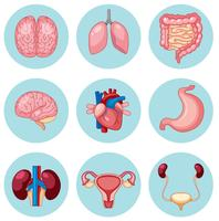 Un insieme di organi umani vettore