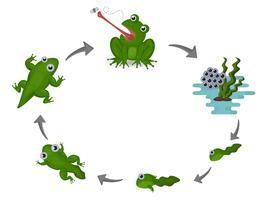 Ciclo di vita della rana vettore