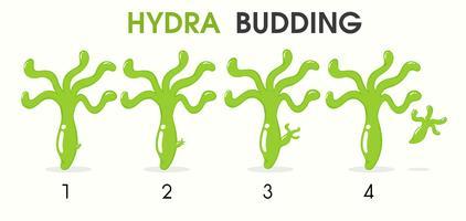 Cartoni animati di scienza che insegnano su Hydra in erba. vettore