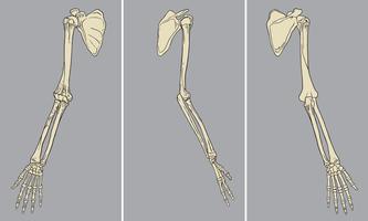 Vettore del pacchetto di anatomia scheletrica del braccio umano