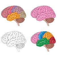 Illustrazione medica di vettore di colori misti del cervello umano