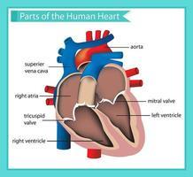 Illustrazione medica scientifica di parti del cuore umano
