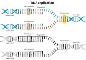 Diagramma vettoriale di replica del DNA