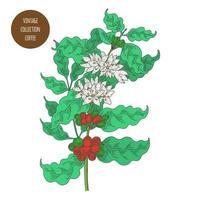 bacche di ramo di caffè con fiori vettore