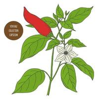 disegno di botanica vintage pepe peperoncino vettore