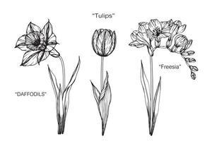 narcisi, tulipani, fiori di fresia. vettore
