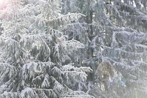 witte sparren in de winter