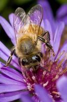 honingbij op paarse bloem