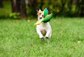 hond die een speelgoedeend haalt